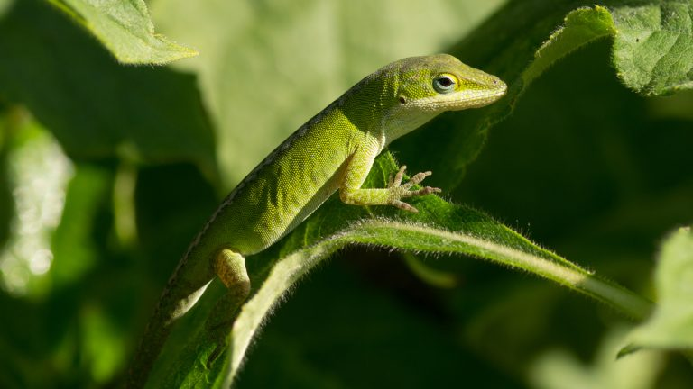 A Green Anole rests nicely camouflaged in the plants. (Shutterstock photo, file)