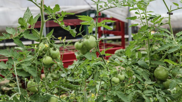 Tomatoes on the vine at Greensgrow in Kensington are just a small part of the legacy of the urban farm's founder