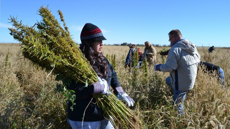 In this Oct. 5, 2013 photo, volunteers harvest hemp at a farm in Springfield, Colo. during the first known harvest of industrial hemp in the U.S. since the 1950s. America is one of hemp's fastest-growing markets, with imports largely coming from China and Canada. Most of that is hemp seed and hemp oil, which finds its way into granola bars, soaps, lotions and even cooking oil. (AP Photo/P. Solomon Banda)