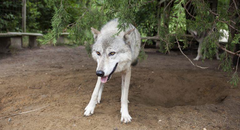 Wolfdog Hybrids Make For High Maintenance Myth Making Pets Whyy