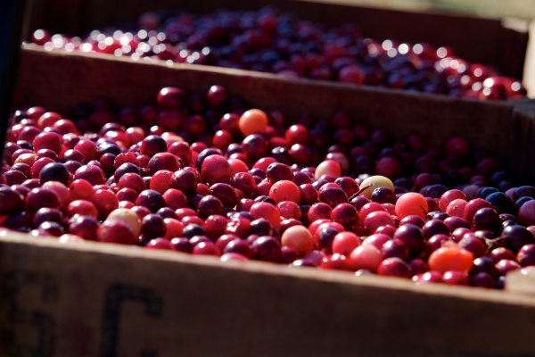 New Jersey cranberries. (Jana Shea/for NewsWorks, file)