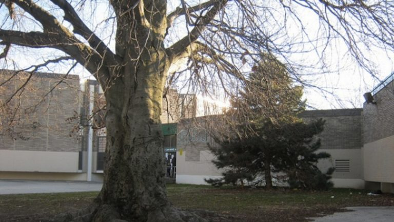 The historic beech tree on the grounds of John B. Kelly Elementary School in Germantown, shown here in 2012. (Alaina Mabaso/for NewsWorks, file)