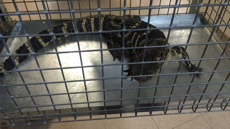 The alligator found in the Jackson lake in late May. Image courtesy of the Jackson Township Police Department.