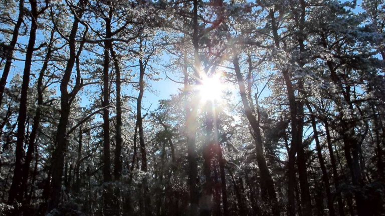 The sun shines through snow-covered pine trees in the New Jersey Pinelands in Manchester, N.J. on Dec. 11, 2013. (AP Photo/Wayne Parry)
