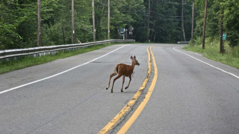 A deer crossing a New Jersey roadway in June 2009. (Image: Sheila Dee/sheiladeeisme via Flickr)