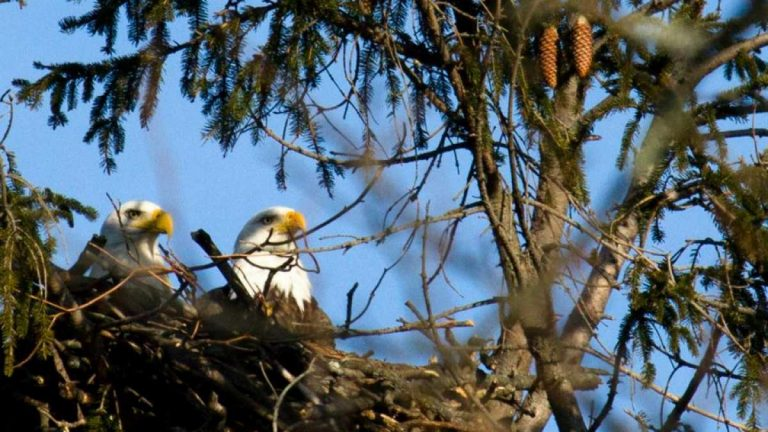 A bald eagle pair in a Jersey Shore nest. (Photo: Chris Spiegel/Blur Revision Media Design)