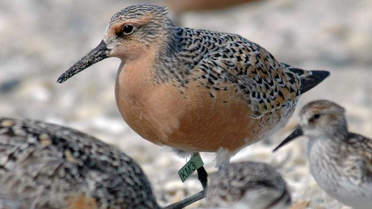 This photo provided by the US Fish and Wildlife Service shows a red knot in Mispillion Harbor, Delaware. (Gregory Breese, USFWS/AP Photo)