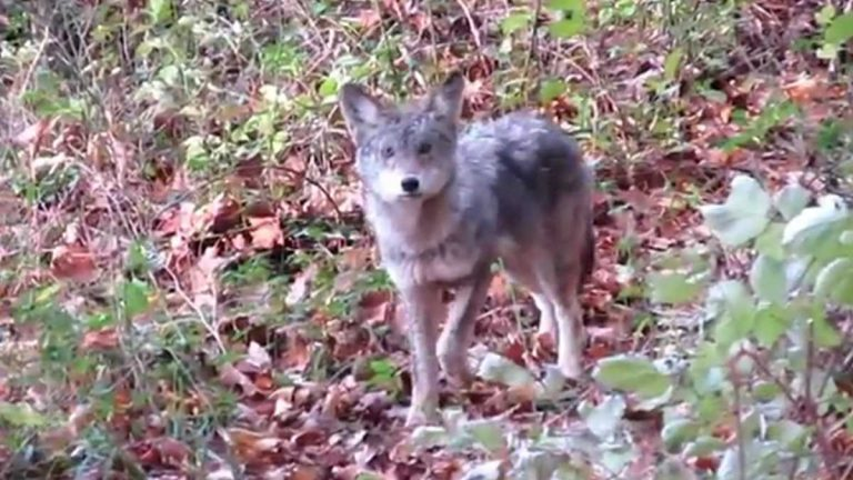 Delaware also is struggling with how to manage a growing Coyote population. A coyote pup walks through White Clay Creek State Park. (Courtesy James Blackstock)