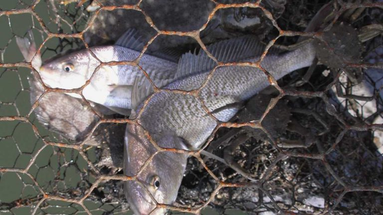 Abandoned crab pots unnecessarily trap fish and harm the marine ecosystem