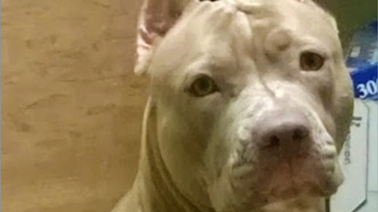 Bonnie, the pitbull, survived a house fire in Germantown last night. But has she since been dognapped? (Photo courtesy of the Hall family)