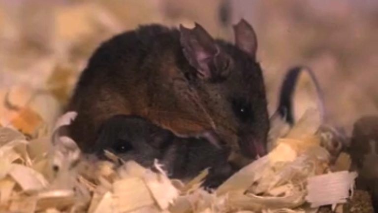 Investigations into how male California brown mice parent their young offer insights into the nature/nurture debate that is often at the forefront of human child rearing practices. (Courtesy of Saint Joseph's University