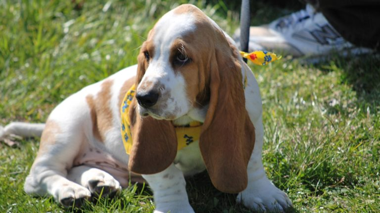 Look at that face! You want to upset this little guy? (Of course you don't.) Larry the Bassett hound is shown at the 2012 Basset Waddle Parade in Ocean City, New Jersey. (Elisabeth Perez-Luna/WHYY)