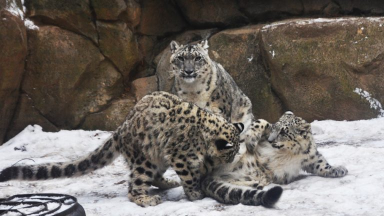 Snow Leopards love the cold weather. (Photo Courtesy of The Philadelphia Zoo)