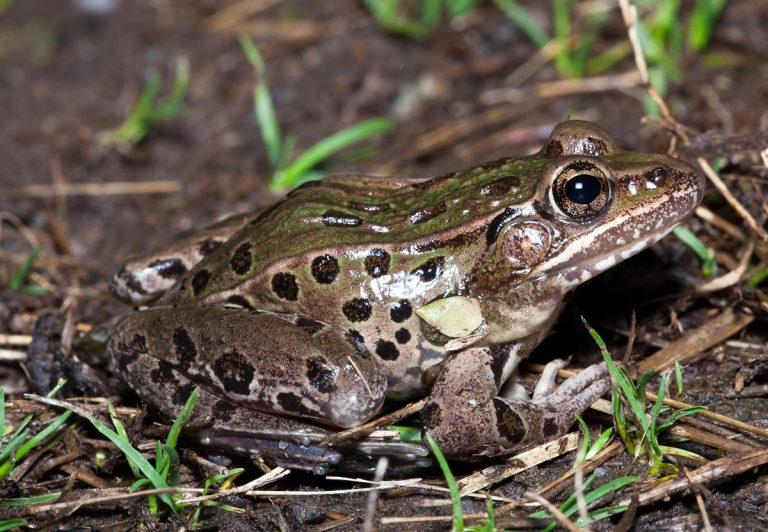 The Atlantic Coast leopard frog, described as mint-gray to light olive green with medium to dark spots, groans and makes cough-like sounds rather than croaking sounds. (Photo courtesy of the New Jersey Department of Environmental Protection)