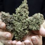 Three types of marijuana buds are shown at Med Grow Cannabis College in Southfield, Mich. (AP Photo/Carlos Osorio, file)