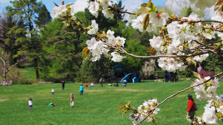 A scene from the 2013 Cherry Blossom Festival at Morris Arboretum in Chestnut Hill (Jana Shea/for NewsWorks, file)