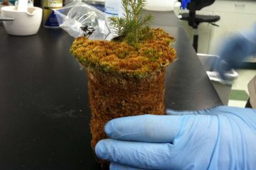 A Villanova grad student holds a moss core with a black spruce in the lab (Laura Benshoff/for The Pulse).