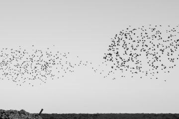 A starling murmuration over Atlantic County Utilities Authority in New Jersey. (Paige Pfleger/WHYY)
