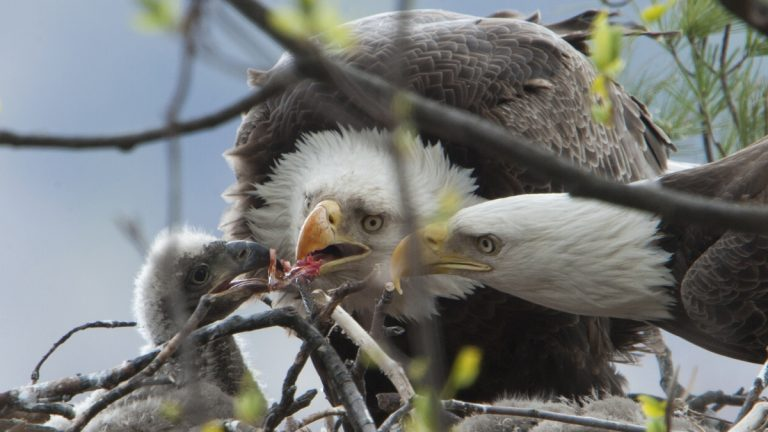 Eagles feed their young in New Jersey in this photo from Dr. Kumar Patel, a nest observer for the state's Division of Fish and Wildllfe.