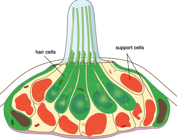 neuromast schematic Miller-1