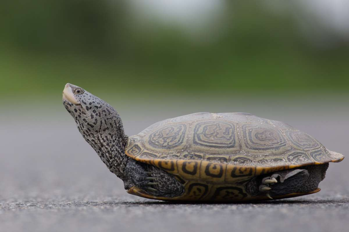 A northern diamondback terrapin. (Photo courtesy of Ben Wurst/Conserve Wildlife Foundation of NJ)