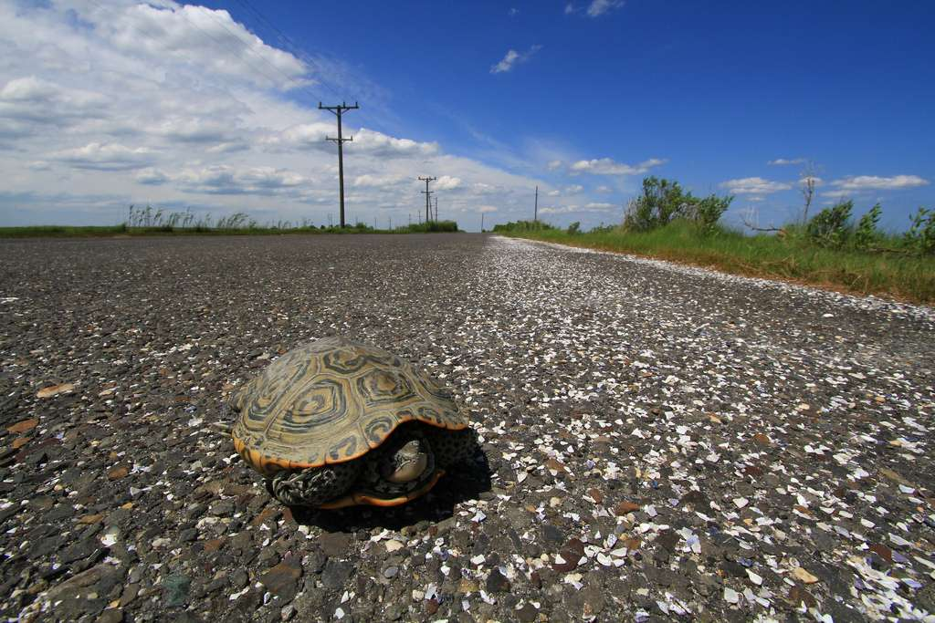 A female terrapin on Great Bay Boulevard in Little Egg Harbor. (Photo courtesy of Ben Wurst/Conserve Wildlife Foundation of NJ)