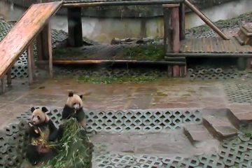 This Feb. 1, 2012 image provided by explore.org shows a framegrab taken from a streaming video from the world's largest panda preserve in Ya'an, China. (AP Photo/explore.org)