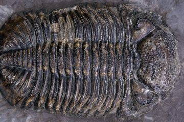 The 'Phacops rana' is Pennsylvania's official state fossil. It's a kind of trilobite, a giant underwater-dwelling pill bug that lived way before the dinosaurs. (Image courtesy of Wikipedia)