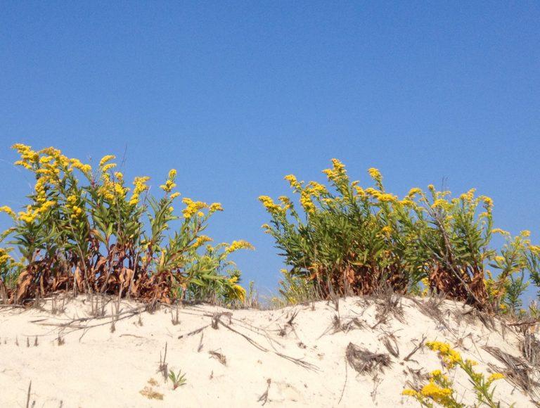 Seaside goldenrod in South Seaside Park.