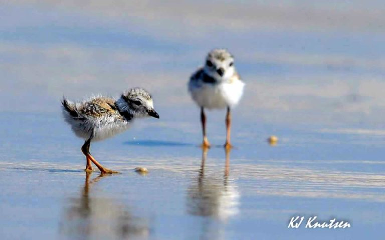 The two piping plover chicks in Island Beach State Park. (Photo: KJ Knutsen)