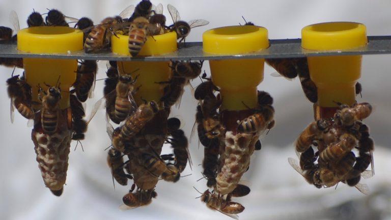 Queen bees (Pphoto courtesy of Janet Katz, N.J. Beekeepers Association)