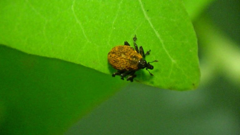 A weevil is being used to control the invasive mile-a-minute vine. (New Jersey Department of Agriculture)