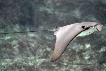 Cownose rays were blamed for the decline in scallops. (<a href=