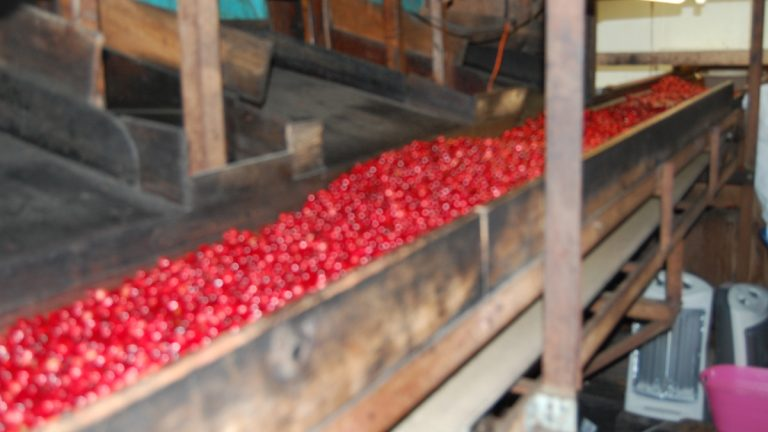 Heirloom cranberries going through the sorter at Birches Cranberry in Tabernacle