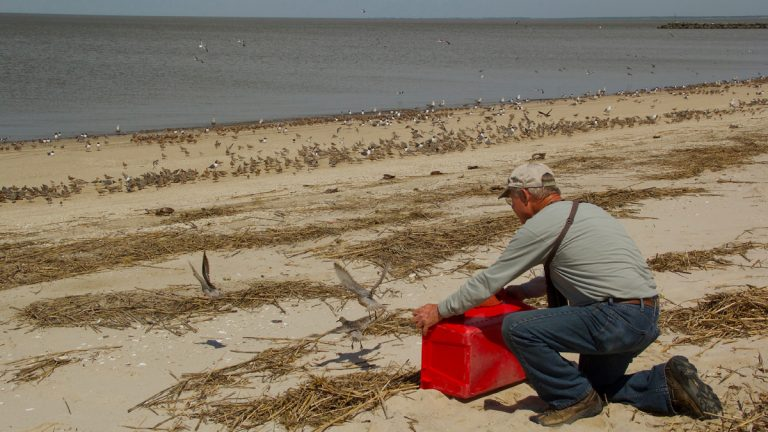 A researcher at a Delaware Bay beach tags rufa red knots. (Katya Gorker/for WHYY)