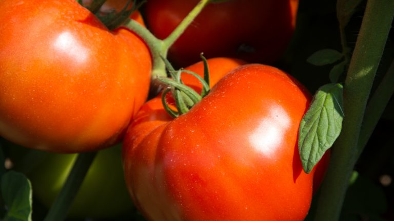 The Rutgers 250 is based on a tomato developed by Rutgers back in 1934. (Peter Nitzsche)