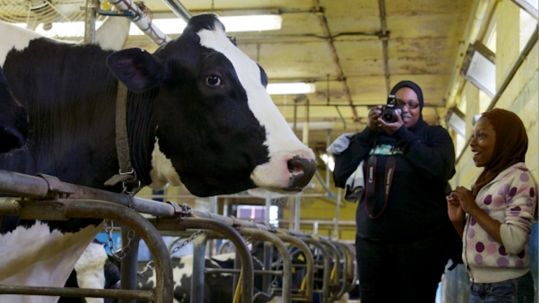 At last year's W.B. Saul Country Fair Day, a youth met a Holstein cow up close. (Jana Shea/for NewsWorks)