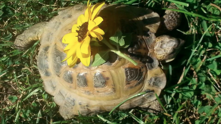 Hans Haines Horsfield, a beloved Wyck House tortoise, went missing early last week. (Photo courtesy of Christina Moresi)