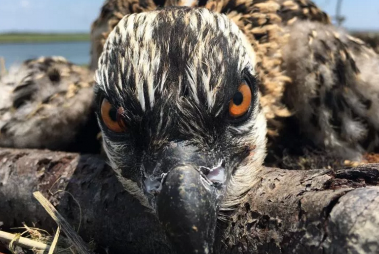 A young osprey that remained in its nest during Tuesday's thunderstorms in Cape May County. (Photo: Ben Wurst)