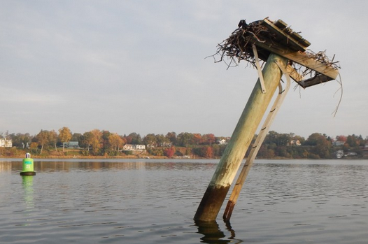 The nesting platform in the Navesink River that requires straightening. (Image courtesy of Ben Wurst/Conserve Wildlife Foundation of New Jersey)