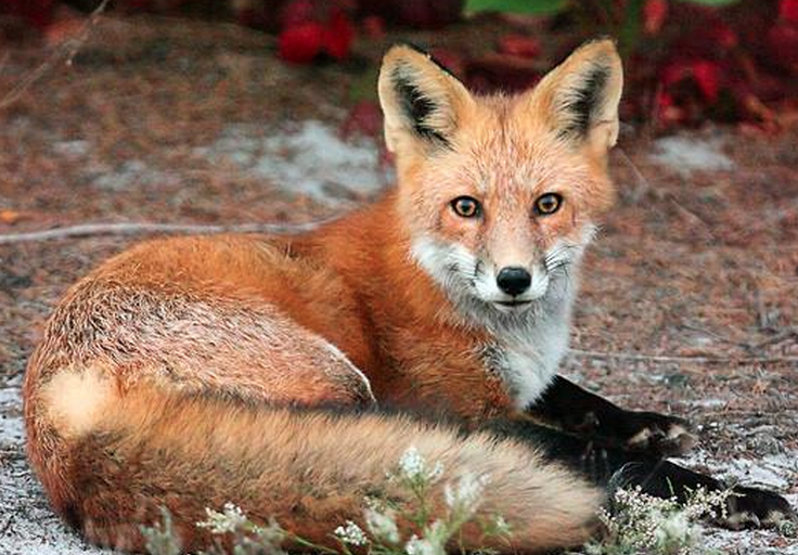 A fox resting in Island Beach State Park. (Photo: Michael Pierson/MP Pics Photography)