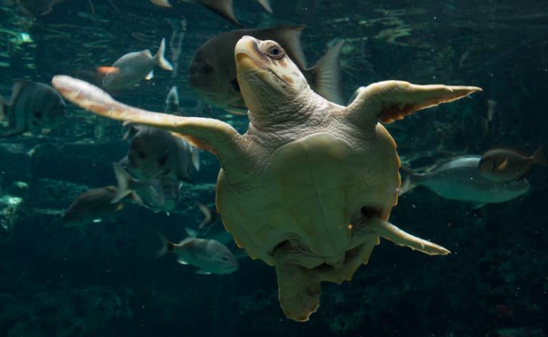 A loggerhead sea turtle. (Photo: Brian Gratwicke via Flickr)