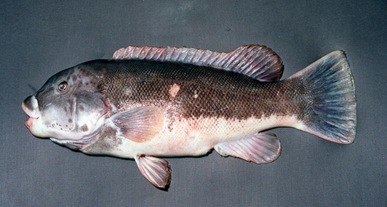 (Image: Virginia Institute of Marine Science)