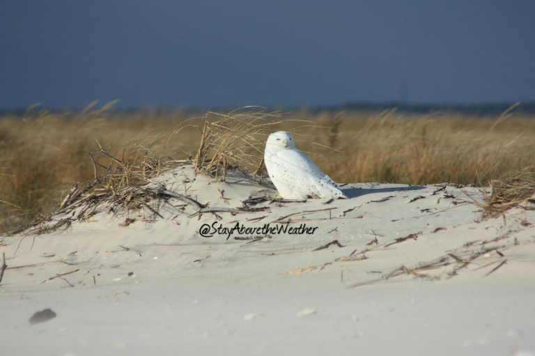 Matt Reitinger, publisher of the Stay Above the Weather Instagram account, recently spotted the elusive bird of prey resting on a Long Beach Island beach.