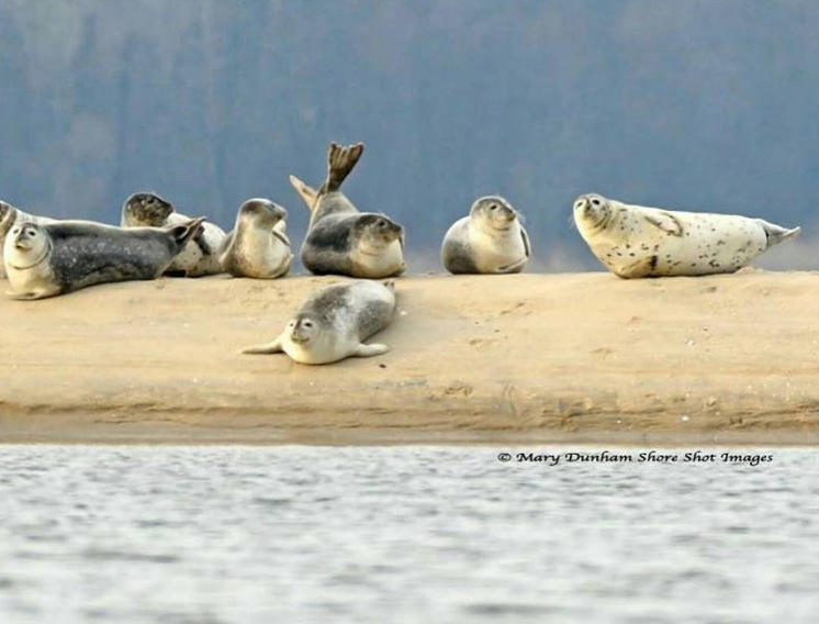 Seals relaxing off Sandy Hook over the weekend. (Image: Mary Dunham/Shore Shot Images)