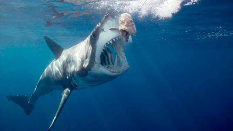 A great white shark opens its mouth for bait. (<a href=