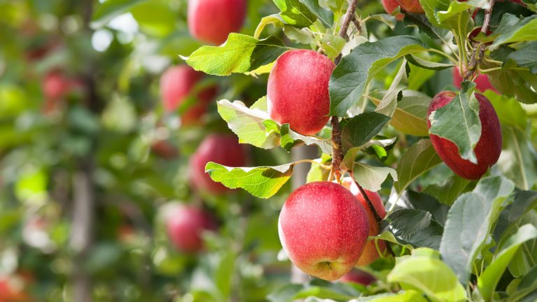 Gala apples are among the varieties now being harvested in New Jersey.(<a href=