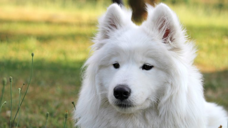 Instances of valuable dogs being stolen to be resold or sent to dog-fighting rings have prompted legislation for tougher penalties in New Jersey. (<a href=http://www.shutterstock.com/pic-306892937/stock-photo-white-samoyed-puppy-dog-relax-at-garden.html?src=14vg4mohJ0LgoBkCILt18A-1-61