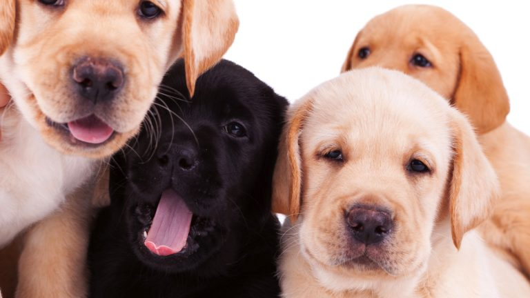 Labrador puppies will be trained by inmates at the Pennsylv. ania state prison. (<a href=