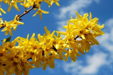(<a href='http://www.shutterstock.com/pic-188316527/stock-photo-spring-shrub-with-yellow-flowers-blooming-forsythia.html'>Forsythia</a> image courtesy of Shutterstock.com)